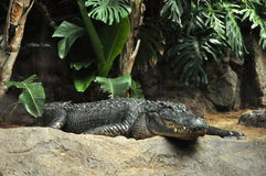 Alligator under the trees Royalty Free Stock Image