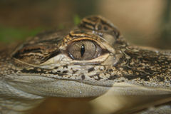 Alligator up close and personal Stock Image