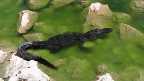 Alligator van Haaivallei stock videobeelden