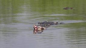 Alligator verletzt nach Kampf während der züchtenden Jahreszeit stock footage