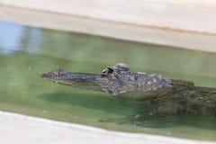 Alligator versenkt in Wasser stockfotografie
