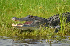 Alligator vid vatten Royaltyfria Bilder
