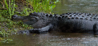 Alligator. Wakulla Springs State Park in Florida stock image