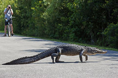 Alligator Walking Across Cycle Path Royalty Free Stock Photography
