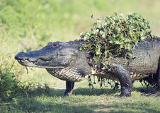 Alligator walking with some water plants on its back. Alligatorcrossing with some water plants on its back after coming out of swamp Royalty Free Stock Photo