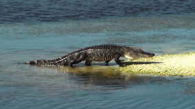 Alligator Walking. Up onto a small island