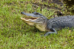 Alligator Warning Stock Photography