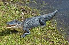 Alligator Warning Royalty Free Stock Photography