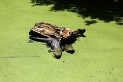 Alligator sunning on a log in swamp royalty free stock images