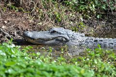 The alligator watches its young play in the marsh water honing their hunting skills. The Alligator suns itself on the marsh bank while its babies play all around royalty free stock photos