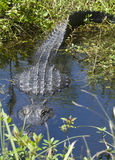 Alligator is Watching You Royalty Free Stock Photo