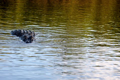 An alligator in the water Royalty Free Stock Images