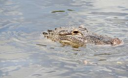 Alligator in water. Face of alligator in water Stock Photos