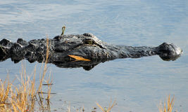 Alligator in water Stock Photography