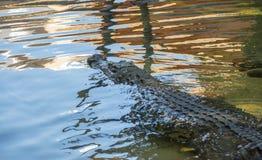Alligator in water stock afbeelding