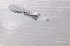 Alligator in the water Stock Images
