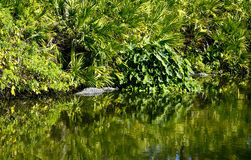 Alligator in in the water Stock Images