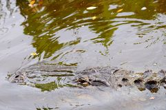 Alligator in water. American alligator in the water of a South Florida wetlands Stock Images