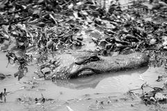 Alligator in Water. Alligator's head as it swims through water, shot in black and white Royalty Free Stock Photos