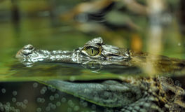 Alligator in the water Stock Image