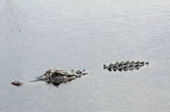 Alligator in water Royalty Free Stock Photo