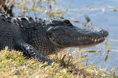 Alligator at waters edge Royalty Free Stock Photo