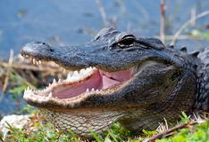 Alligator at waters edge Stock Photo