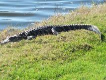 Alligator. Waterside gator in south Florida Stock Photos