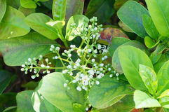 Alligator weed flower Royalty Free Stock Photo