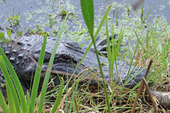 Alligator in the Weeds. An Alligator is a crocodilian. Alligators are native to the United States. They are found in Florida, Louisiana, Georgia, Alabama and stock photos