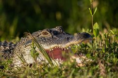American Alligator sunning with mouth open wide. Alligator in the wetlands of Florida is close to your path and holding his mouth open for you to see inside Stock Image