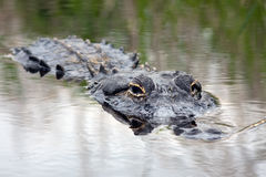 Alligator in the Wild Stock Images