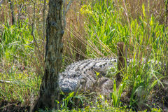 Alligator in the wild. A huge wild alligator resting in the sun along the road to the Outer Banks of North Carolina stock photography