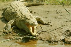 Alligator. The wild and terrible alligator is able to sweep away everything in its path Stock Images