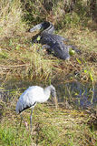 Alligator and Woodstork Royalty Free Stock Images