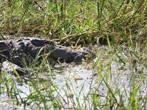 Alligator in the Yala national Park on the island of Sri Lanka royalty free stock images