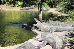Alligator Yawning. Here is a group of alligators laying near a pond resting Stock Image