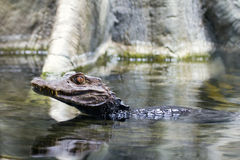Alligator Young Swimming Royalty Free Stock Photos