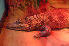 Alligator in zoo indoors, resting under infrared heating lamp Royalty Free Stock Photo