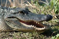 Alligator1 Stock Images