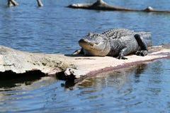 alligatoramerican Fotografering för Bildbyråer
