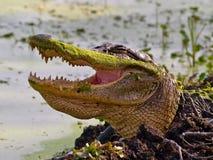 alligatoramerican Royaltyfri Fotografi