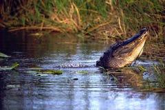 alligatoramerican Arkivfoton