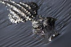 alligatoramerican Royaltyfri Foto