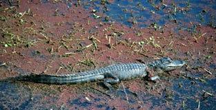 alligatoramericanen behandla som ett barn den skumma swampen Arkivbild