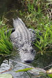 alligatoramericanmississippiensis royaltyfri foto