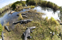 alligatoramericanmississippiensis Royaltyfri Foto