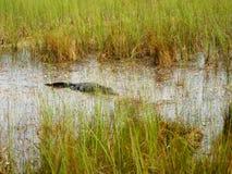 Alligatorausflug im Nationalpark der Sumpfgebiete stock footage