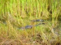 Alligatorausflug im Nationalpark der Sumpfgebiete stock video