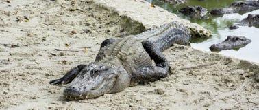 Alligatorbauernhof Miamis, Florida, USA - Sumpfgebiete Stockbilder
